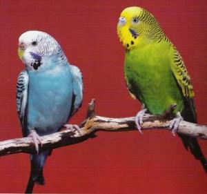 Выращивание волнистых попугайчиков | Бизнес идеи