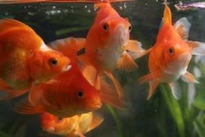Гостиница для золотых рыбок   Бизнес идеи