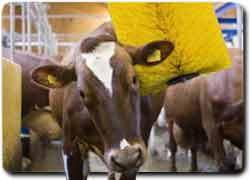 Массаж для коров | Бизнес идеи