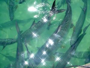 Разведение рыбы | Бизнес идеи