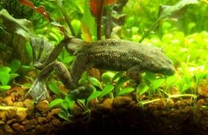 Разведение аквариумных лягушек | Бизнес идеи