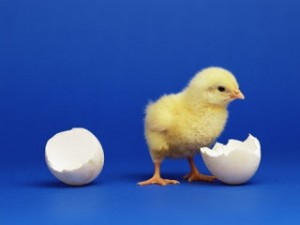 Продажа цыплят | Бизнес планы