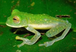 Выращивание съедобных лягушек | Бизнес планы